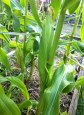 We are eating corn from the soil garden